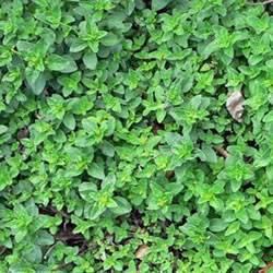 Sweet Marjoram Organic Organic Plant