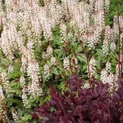 Tiarella Sugar and Spice Foam Flower Ground Cover