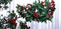 Crataegus x mordenensis 'Toba' Toba Hawthorn Tree Plant