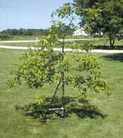 Tree Trainer