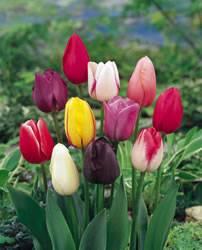 Tulip Single Late Mixed Colors Fall Bulb