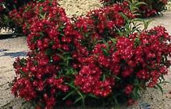 Weigela florida 'Courtanin' Weigela Nain Rouge Shrub Plant