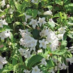 Weigelia florida 'White Knight' (PP8348) Weigela White Knight Shrub Plant
